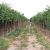 山东丝棉木种植基地直销价格