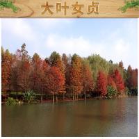 锦林花木供应水杉 建筑板料造纸等原料 多用途活化石梳子杉批发