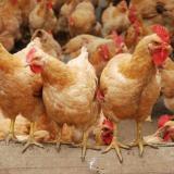 块大黄鸡苗 块大黄鸡苗供应 块大黄鸡苗供应商 块大黄鸡苗供应商报价