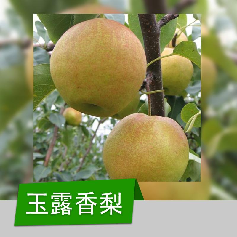 厂家出售 南方庭院果树苗品种 玉露香梨果树苗 梨苗新品种 玉露香梨 果个大产量高 玉露香梨苗