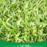海南大叶油草 大叶油草批发价格 大叶油草种植基地  大叶油草种子