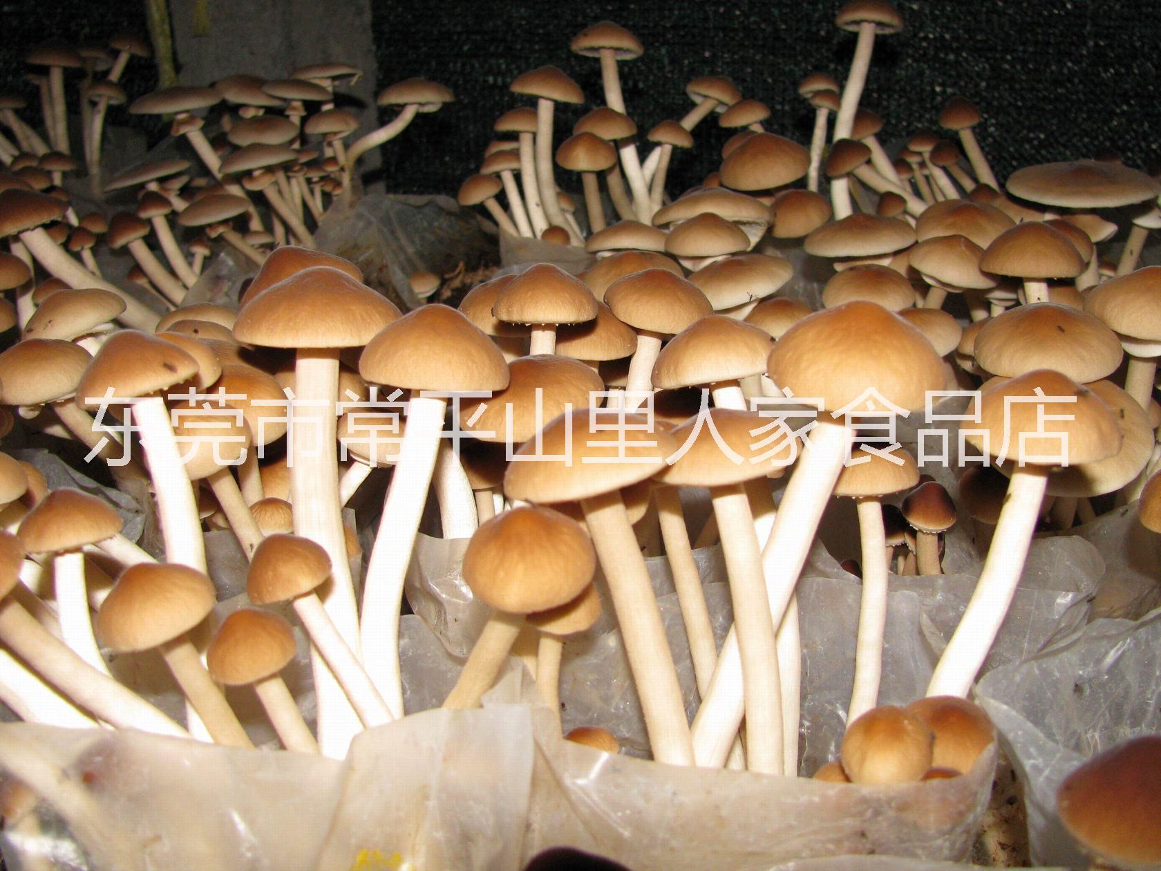 茶树菇韶关茶树菇产地直销山里人家食品