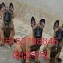 江西马犬多少钱一只,江西哪有卖科目马犬的多少钱,江西3个多月的马犬多少钱一只批发