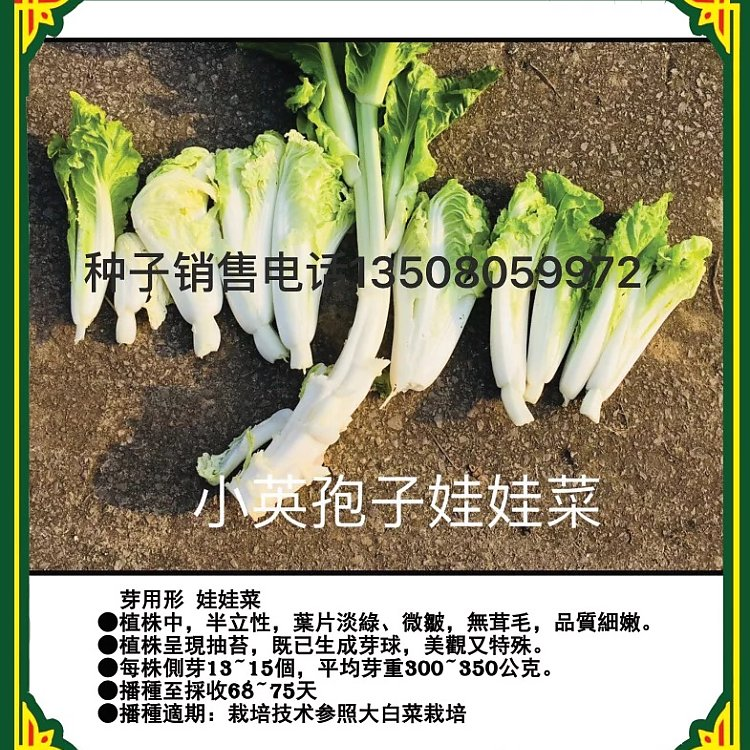 xy.侧芽娃娃菜种小英孢子娃娃菜家庭盆栽娃娃菜种子早熟迷你型白菜种子小英孢子娃娃菜