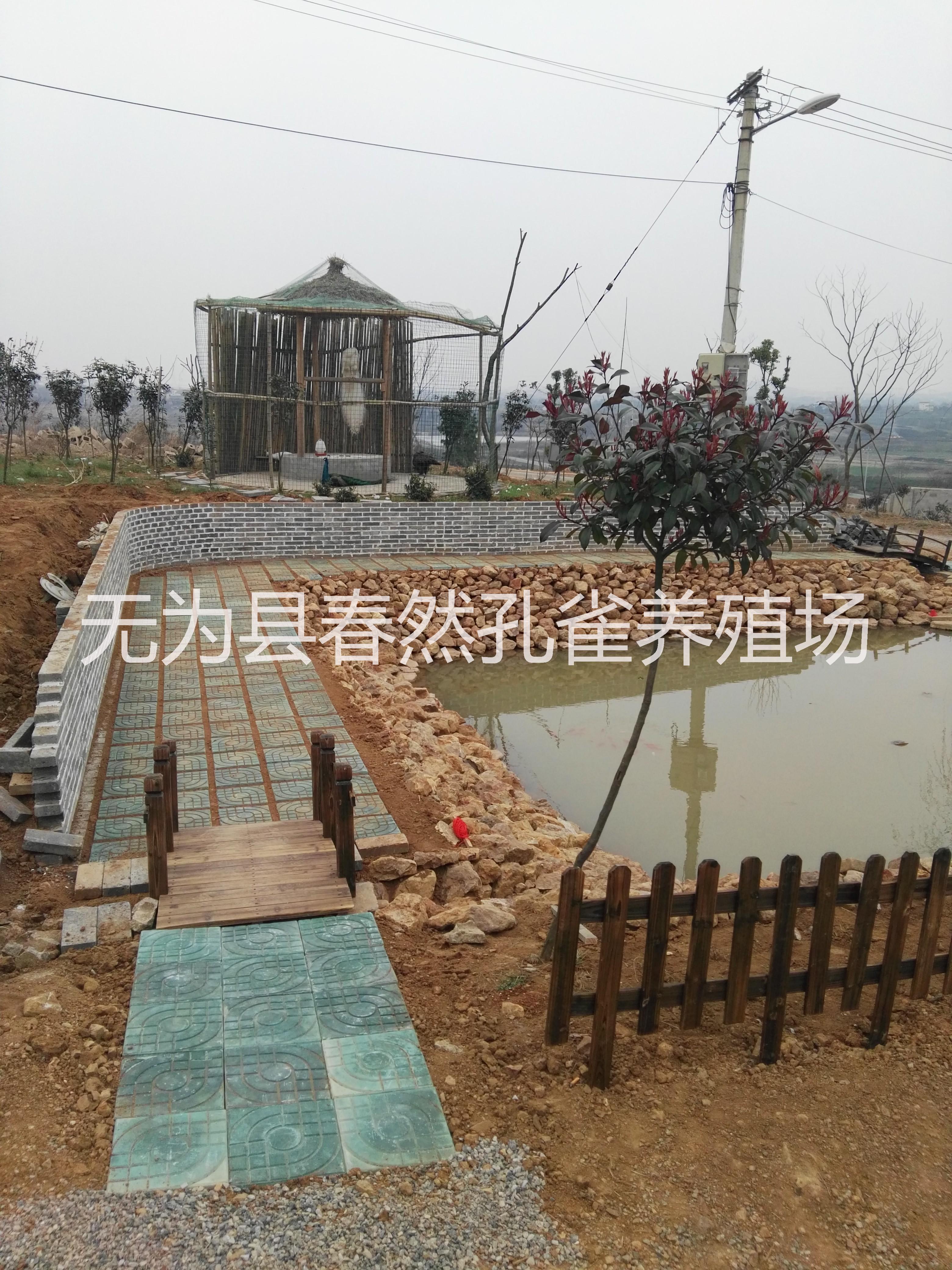 特种养殖安徽省浩然孔雀养殖基地供应各种孔雀 种孔雀,孔雀苗