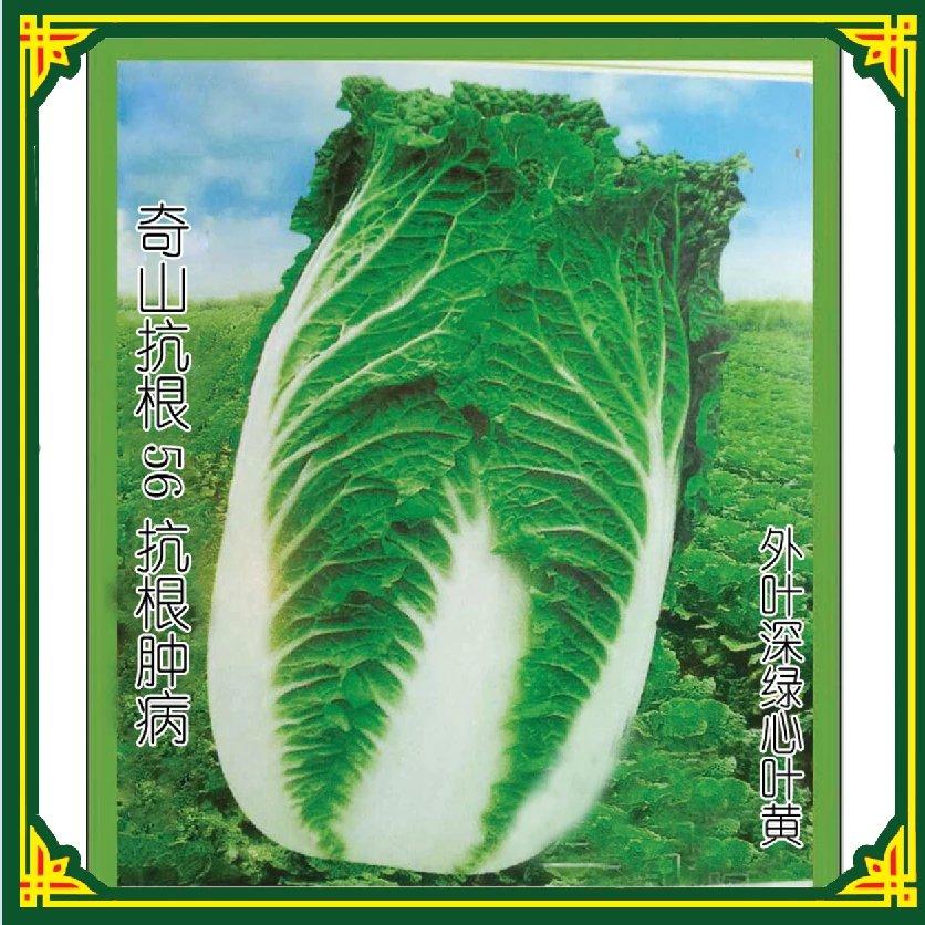 抗根肿病大白菜抗根56大白菜种子公司大白菜泡菜种子黄心白菜种子  中早熟大白菜