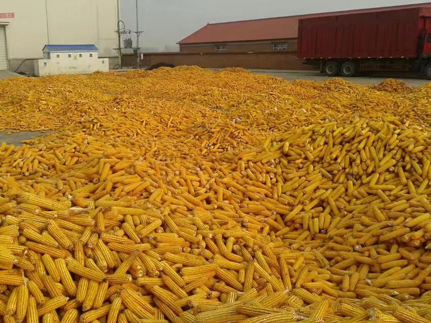 回收玉米|供应高价回收域名电话|供应高价回收域名价格|供应高价回收玉米厂家电话