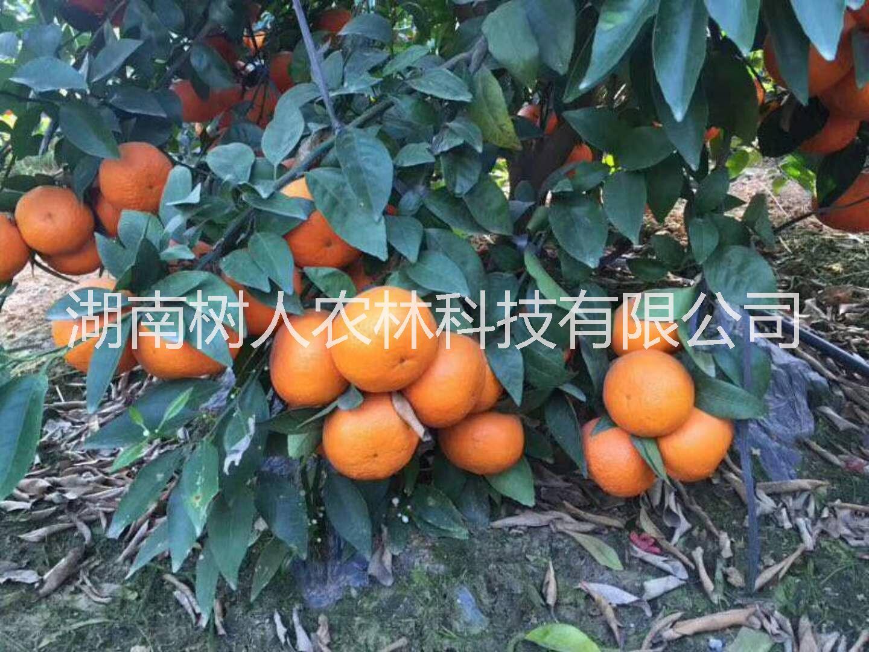 广西新品种091无核沃柑苗种植基地直销批发价格-管理技术 找湖南树人公司