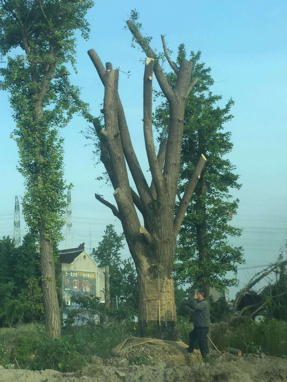 白蜡树价格  银杏树市场价格 银杏树价钱 28银杏树树多少钱
