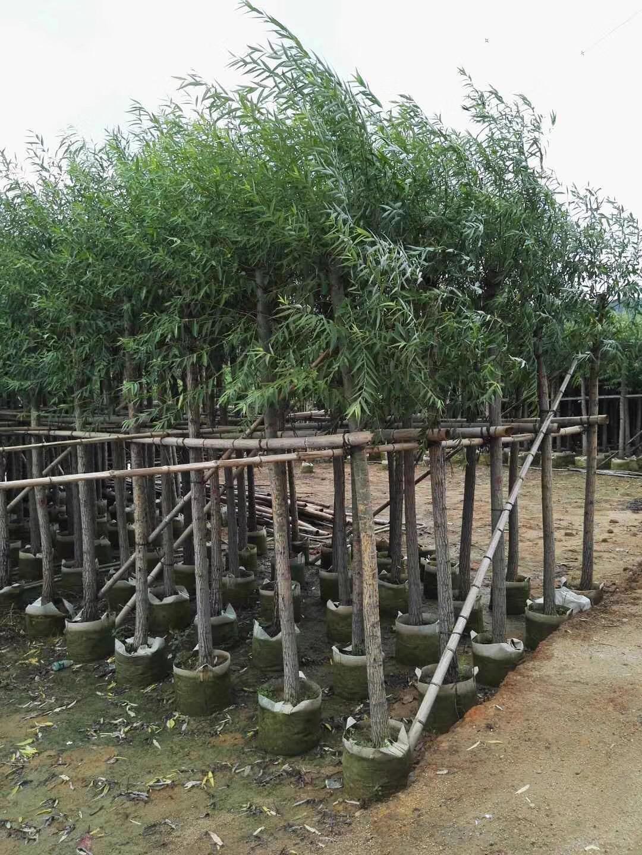 绿化树木-垂柳-揭阳柳树-普宁杨柳-普宁基地-农户自家花木场种植直销-园艺园林