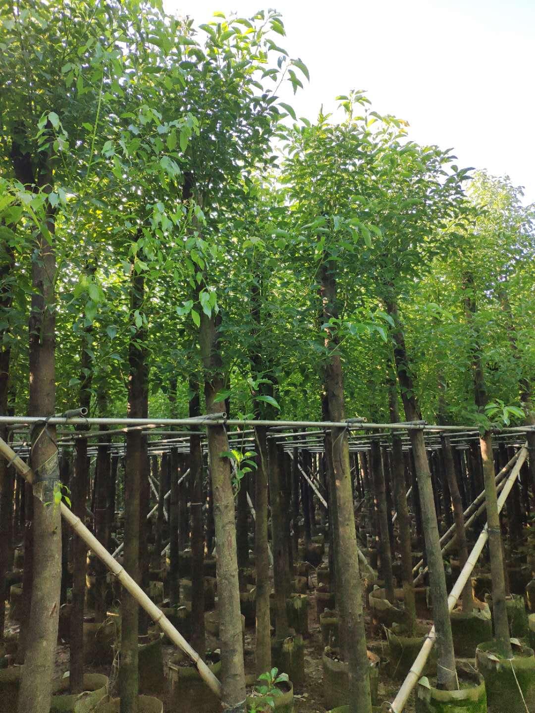 10公分樟树  广东普宁10公分樟树  供应10公分樟树 大量10公分樟树出售