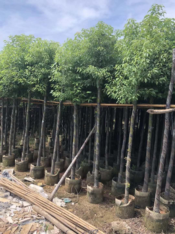 5公分香樟树厂家直销 香樟树供应商 香樟树制造商 香樟树批发价格