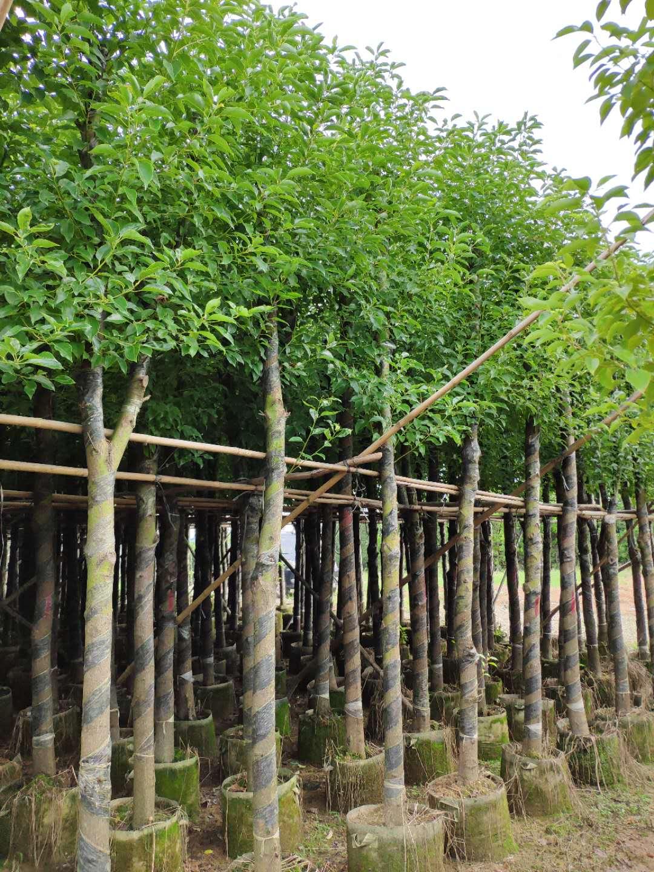 10公分香樟树 广东普宁樟树批发 樟树价格 香樟树绿化园林 广东香樟树