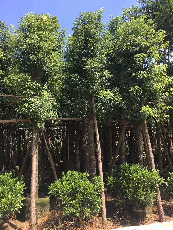 香樟树价格 15公分香樟树价格 广东普宁樟树批发  香樟树绿化园林