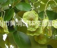 檀香紫檀种子