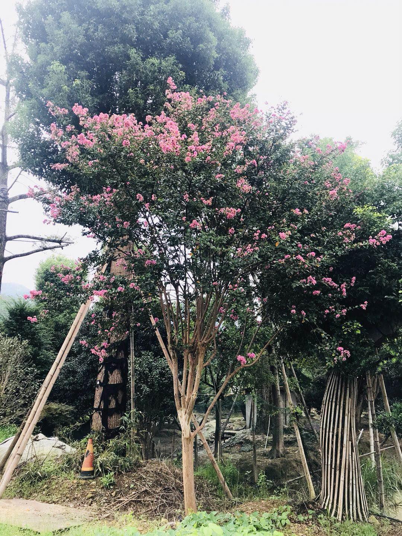 浙江台州临海卖优质高杆紫薇,规格10-13公分,150分枝