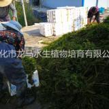 供应眼子菜 沉水植物 浮水植物 挺水植物 绿化苗木