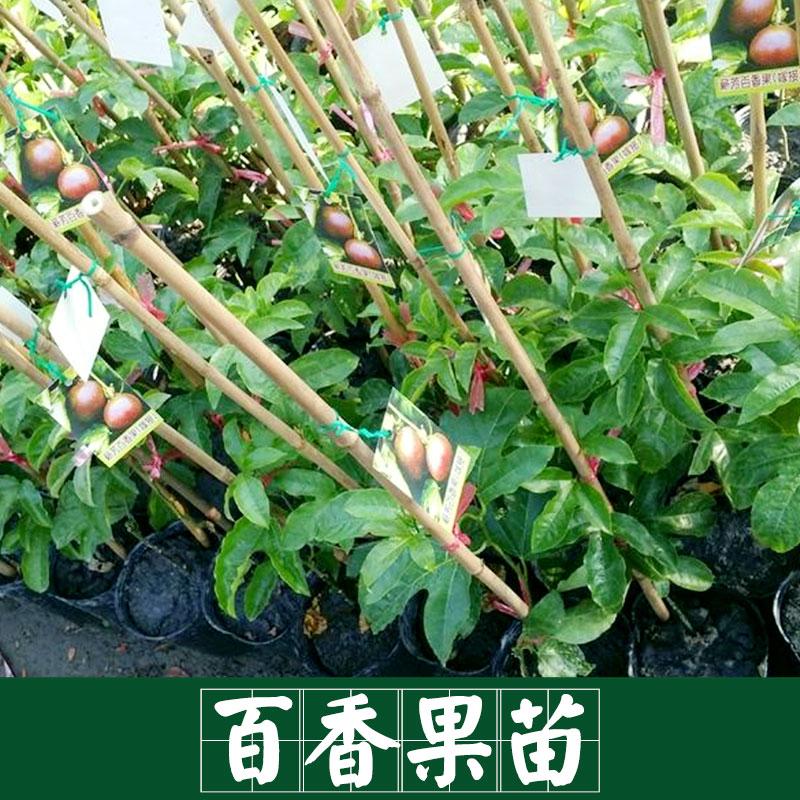 广西百香果树苗批发 四季满天星 紫香台农黄金果 盆栽地栽当年结果