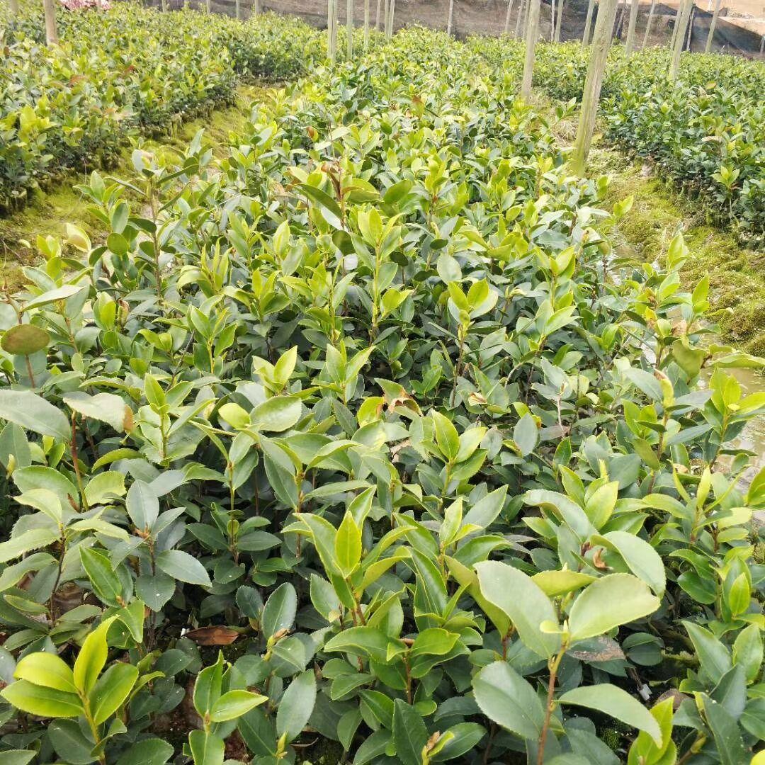 茶苗-茶苗批发-茶苗基地-茶苗供应商