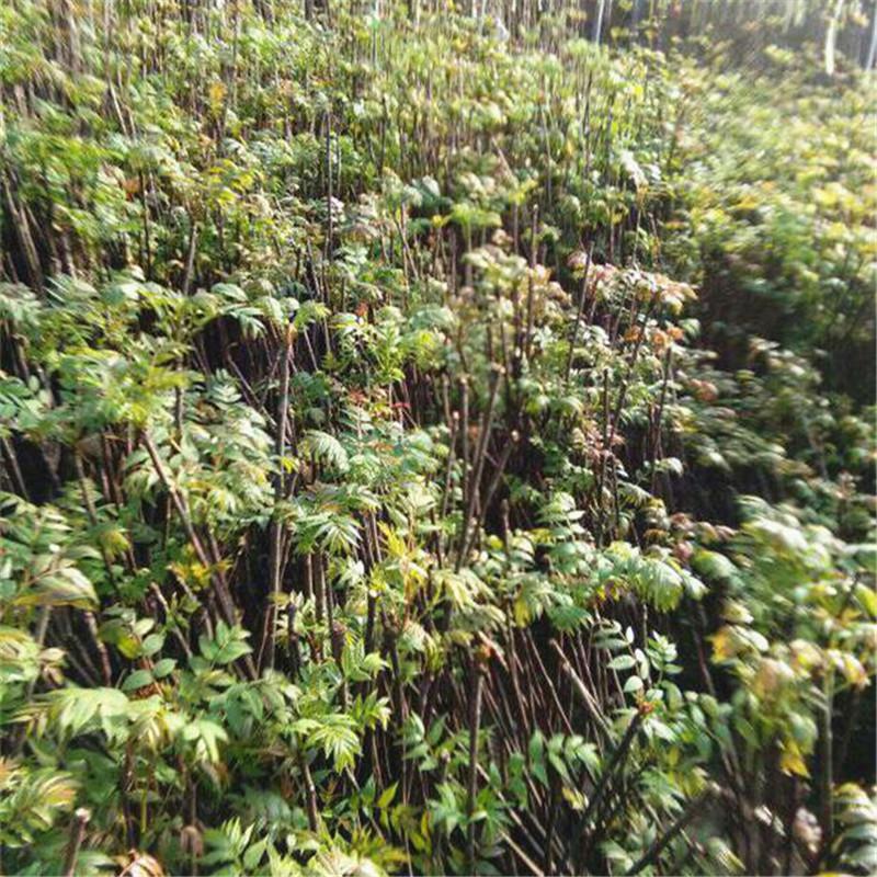 供应1-2公分露天种植香椿树 优质南方果树苗采购报价质量哪家好 泰安红油香椿树