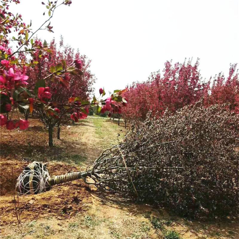 供应绿化工程使用海棠苗 品种多样绚丽海棠苗人工挖土球发货 供应商批发价格 优质南方果树苗采购报价质量哪家好