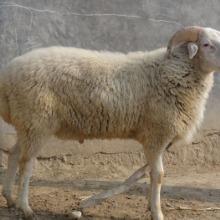 山东小尾寒羊  枣庄有小尾寒羊吗  德州是否有小尾寒羊批发