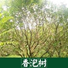 香泡树  景观园林树木专用树 园林服务好 运输有保障 香泡树基地欢迎来电参观 广西香泡树基地