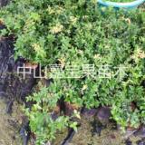 嘉宝果树苗,广东嘉宝果苗供应商、沙巴嘉宝果苗哪里有卖,树葡萄种植技术培训