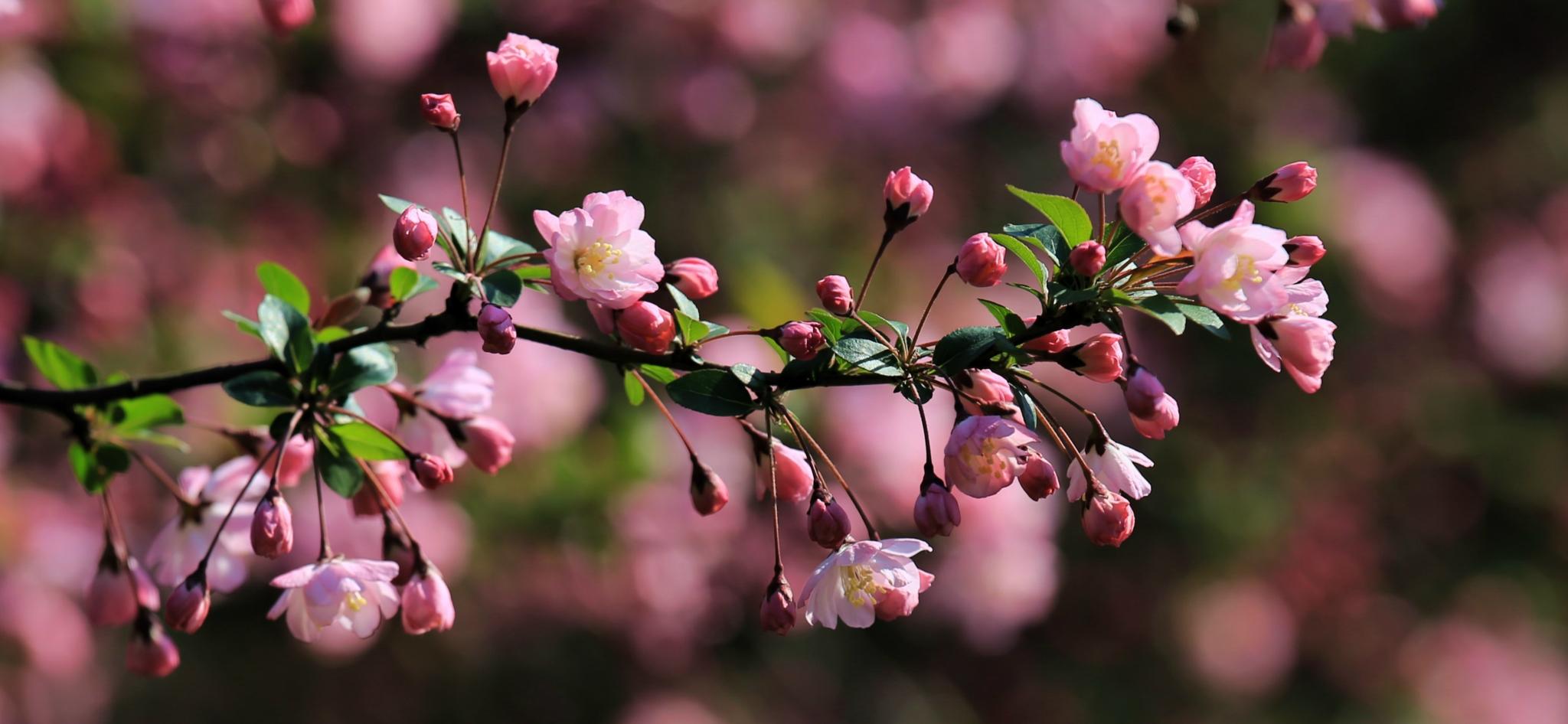 湖南优质海棠供应商,供应海棠花厂家直销,郴州海棠花基地,海棠花生产基地,海棠花经销商报价