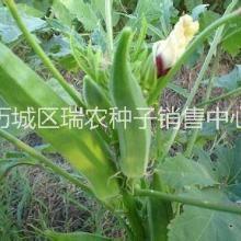 优质保健蔬菜种子批发|黄秋葵|补