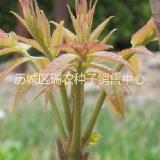 芽苗菜种子 香椿种子  香椿种子