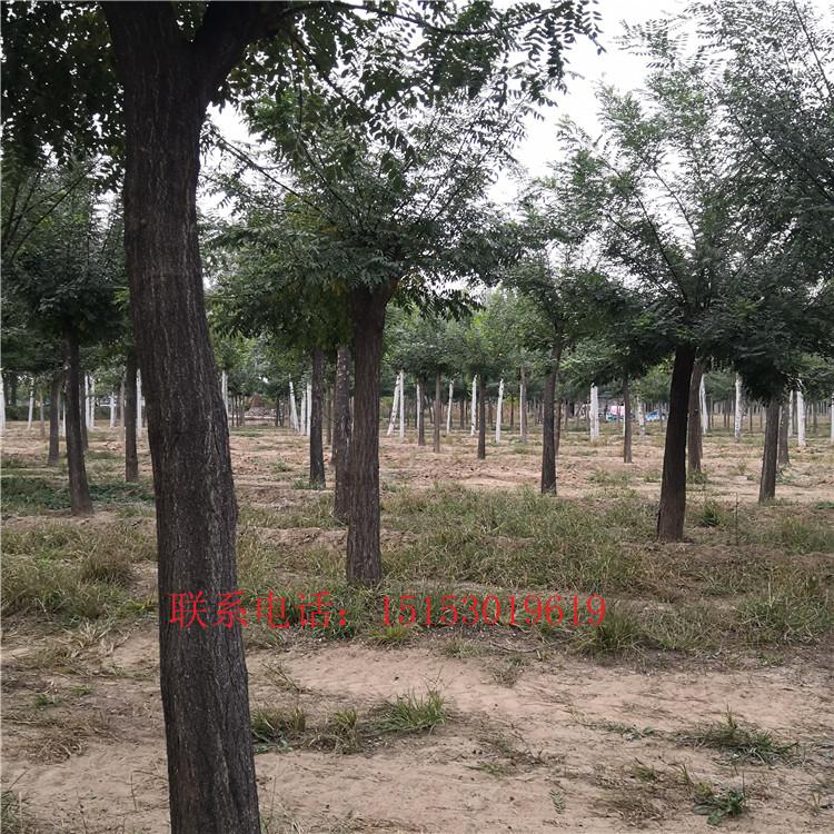 供应10-15国槐价格 供应精品速生10-15国槐价格绿化园林精品种植国槐价格