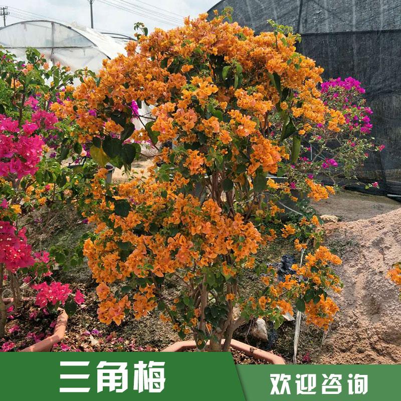供应柳州三角梅小苗|高10至50公分三角梅|三角梅种植基地苗圃直销