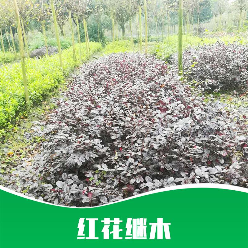 红花继木 造型红花继木 红花继木小苗 红花 厂家直销 品质保障