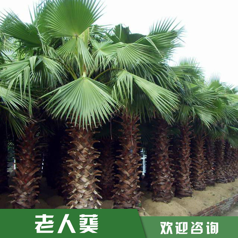 华棕 老人葵 批发 漳州华棕价格 华盛顿棕榈产地直销 老人葵批发 厂家直销 品质保证