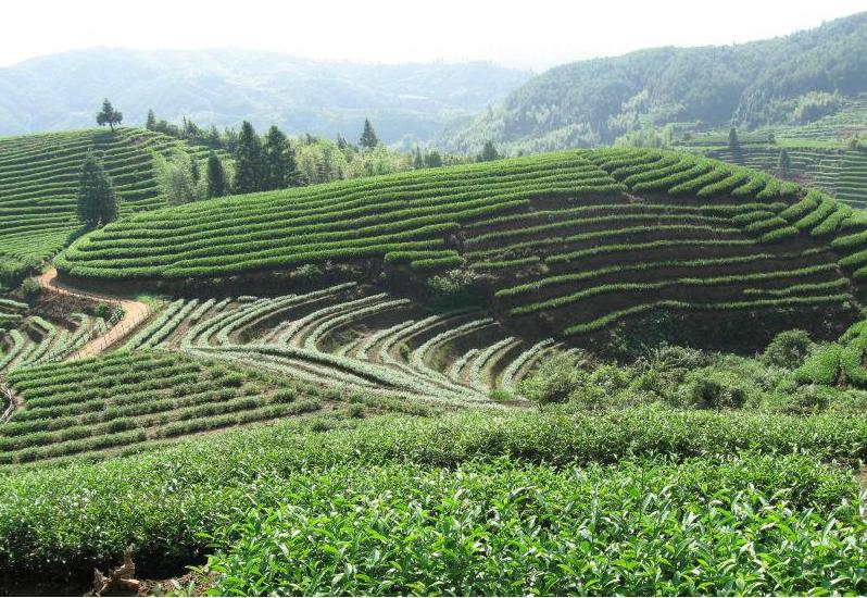 优质福建茶供应 福建茶报价 猫仔树价格 广西福建茶种植 正宗福建茶哪家好