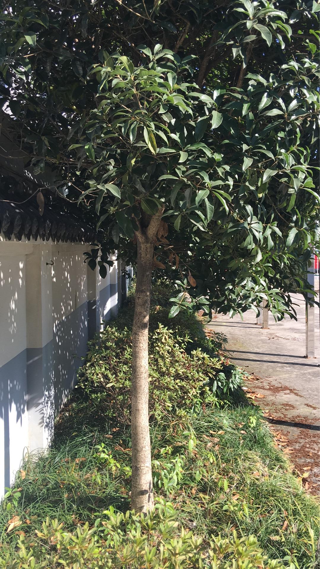 桂花树-荆州桂花树圃-荆州桂花树基地-荆州桂花树价格-荆州那里有桂花树