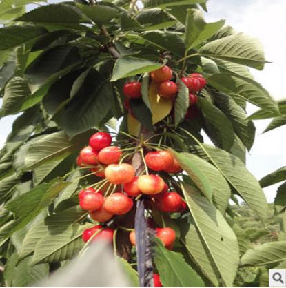 山东樱桃苗市场直销批发公司-优质供应商生产商 樱桃苗厂家