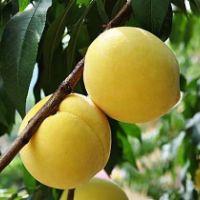 黄桃 黄桃苗木  黄桃苗木哪家好  供应优质供应黄桃 黄桃苗木