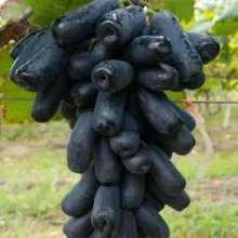优质葡萄厂家直销批发