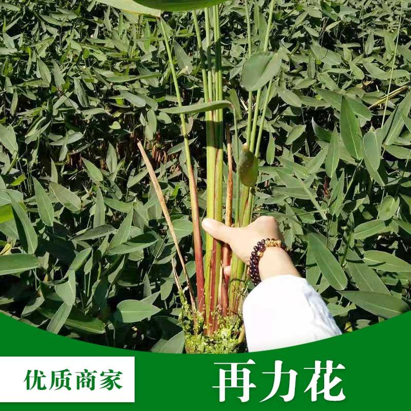 厂家批发再力花 水生植物花卉 湿地景观 水体绿化水生植物 易管理