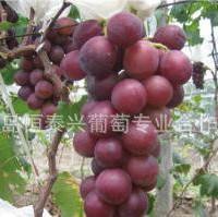 葡萄苗----玫瑰香葡萄 苗 优质葡萄苗 黑芭拉多