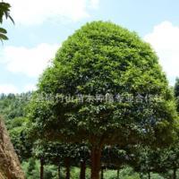 高品质银桂 批发出售绿化苗木桂花树