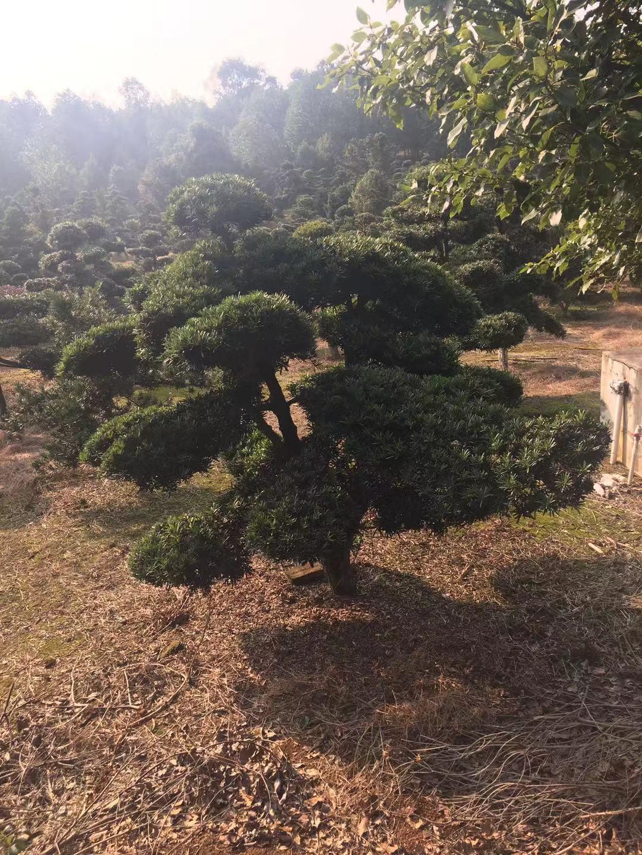 良好绿化用树 厂家直发 造型罗汉生