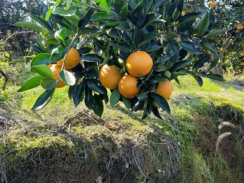 重庆秀山脐橙基地直销|批发价格|哪家便宜|重庆秀山县文明水果股份合作社|17302379240
