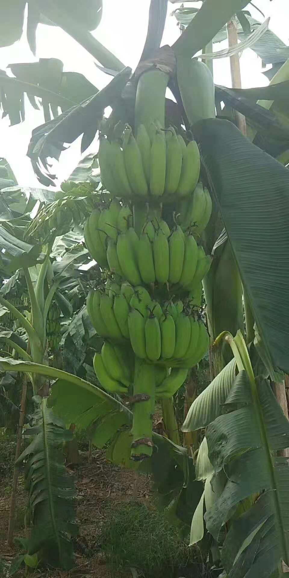 湖南优质香蕉苗 西贡苗 广西红香蕉种植基地 直销价格