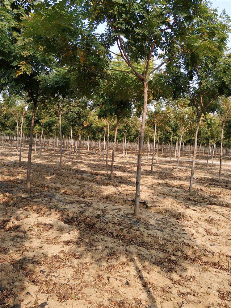 栾树基地 栾树苗 栾树种子 自产自销 发芽率高 质量保证