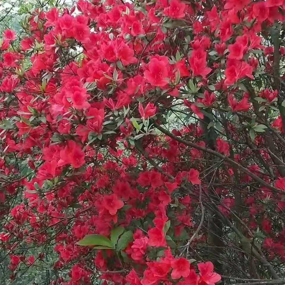 批发杜鹃 地栽工程杜鹃花 观花植物 苗圃及工地皆适用