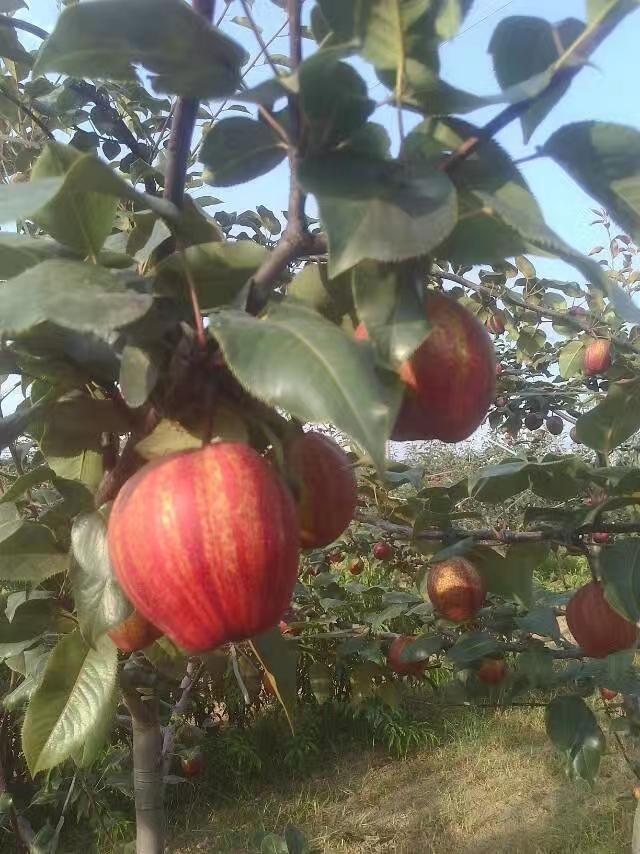 早酥红梨,早酥红梨嫁接苗,早酥红梨苗批发,彩红梨,全红梨,红色梨