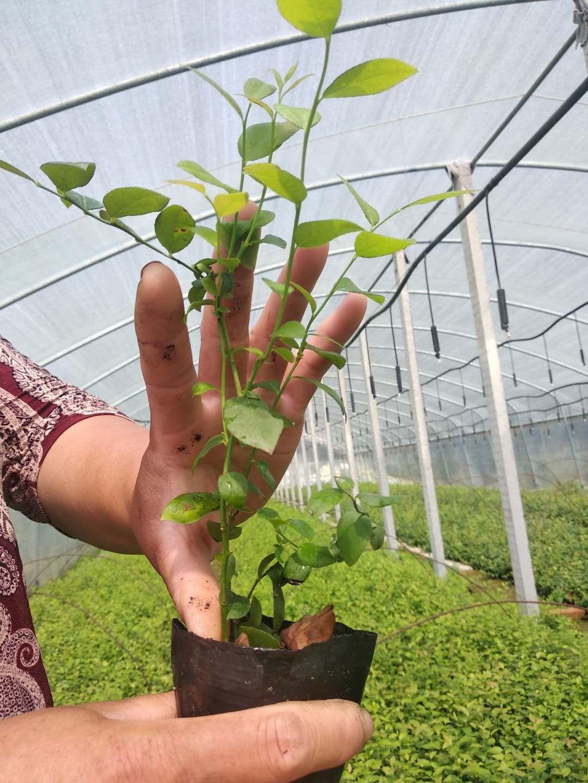 山东临沂蓝莓苗基地-大量出售蓝莓苗1-6年批发/厂家价格报价